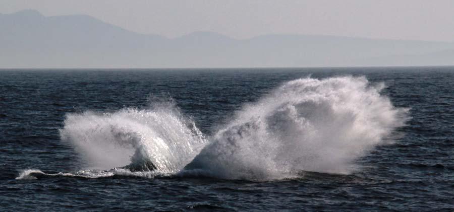 Humpback whale Freycinet  Tasmania