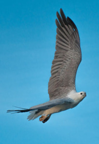 Sea-eagle-Freycinet