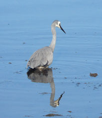 White-faced-heron-1a