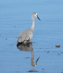 White-faced-heron-1a