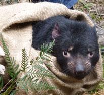 Tasmanian devil Freycinet