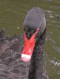 swan-portrait