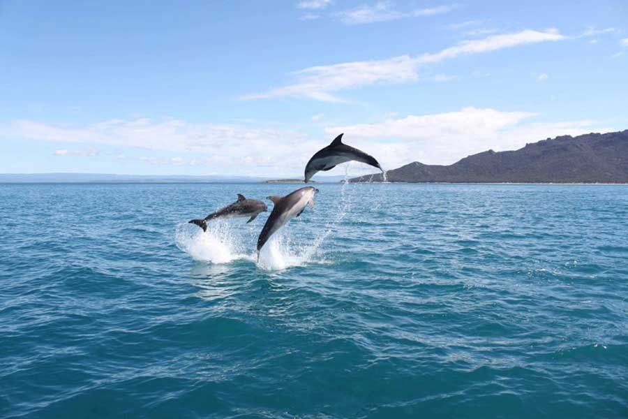Dolphins in Coles bay Freycinet