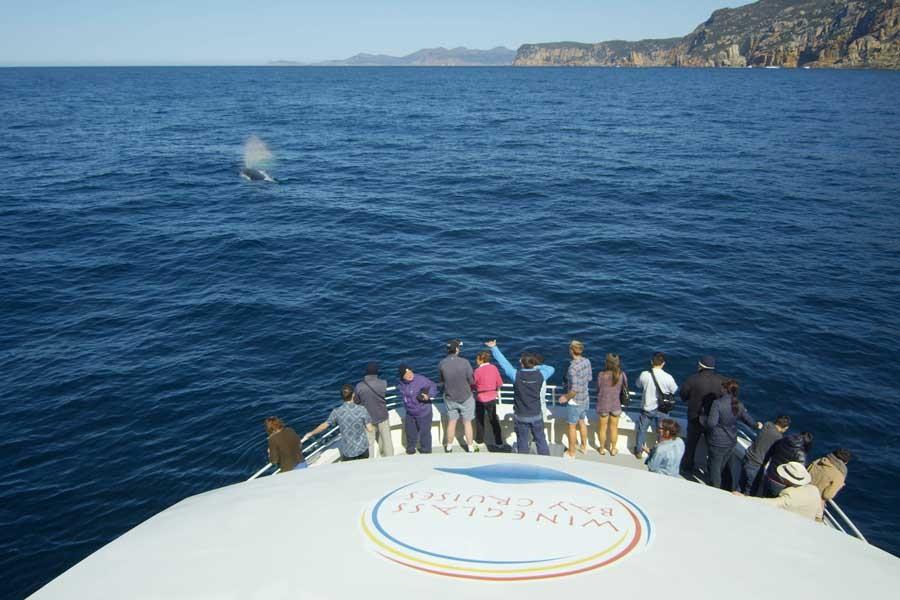 Freycinet whale