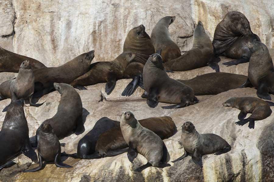Seals on rocks Freycinet
