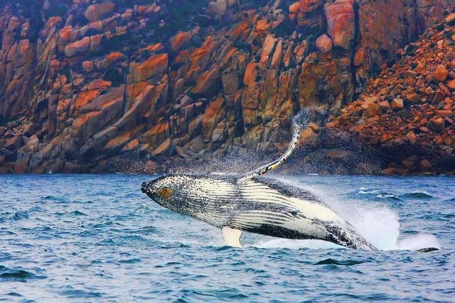 Whale breach under granite cliffs